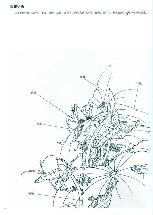 荷花画法的结构